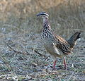Francolinus sephaena -Kruger National Park, South Africa-8.jpg