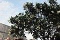 Frangipani tree with flowers outside Haw Par Villa (14607317160).jpg