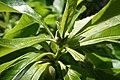 Franklinia alatamaha (Franklin Tree) (35359628430).jpg
