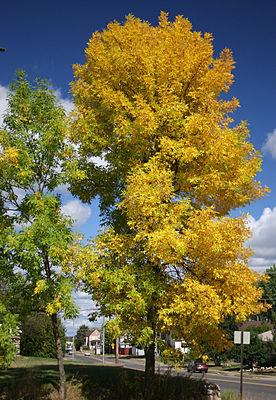 Red ash (Fraxinus pennsylvanica), autumn colors