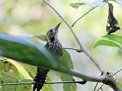 Freckle-breasted Woodpecker, Baratang, Andamans.jpg