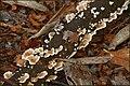 Fungus, Huntly, Banbridge (2) - geograph.org.uk - 554681.jpg