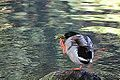 Funny birds 1 - Scratching duck (10190241603).jpg