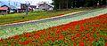 Furano flowers (7662398370).jpg