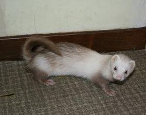 Furet-position-defecation.jpg