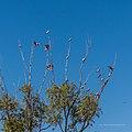 Galah Burke St Boulia Queensland P1030420.jpg
