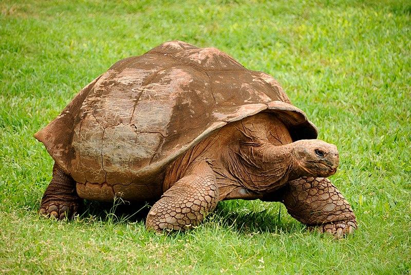 File:Galapagos Tortoise (5213306875).jpg