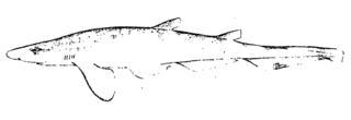 Longfin sawtail catshark Species of shark