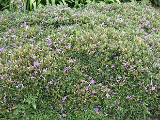 Ruellia - Ruellia dipteracanthus