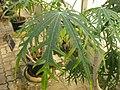 Gardenology.org-IMG 8031 qsbg11mar.jpg