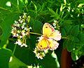 Gatekeeper butterfly (9580285979).jpg