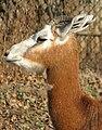 Gazella dama mhorr 3.jpg
