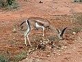 Gazella granti . Tsavo East National Park. Газель Гранта - panoramio.jpg