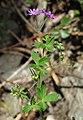 Geranium pyrenaicum 4 RF.jpg