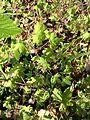 Geranium rotundifolium sl19.jpg