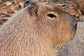 Gfp-capybara.jpg