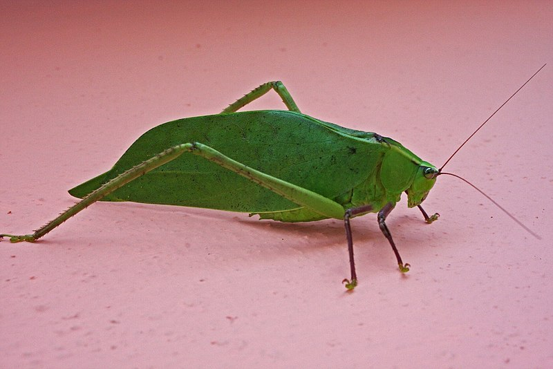 File:Giant Katydid (Stilpnochlora couloniana) (8573971467 ...