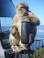 Gibralter Barbary macaque.jpg