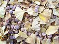 Ginkgo biloba-Leaves and Seeds-1.jpg