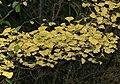 Ginkgo biloba - Autumn colour (31258685366).jpg