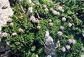 Globularia nana 1 (Pyrenees).jpg