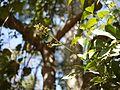 Glycosmis pentaphylla (8283186733).jpg