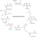 Glyoxylate cycle.png
