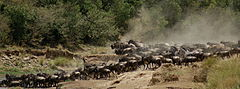 Gnus passing Mara River-01, by Fiver Löcker.jpg