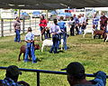 Goat judging - Wasco County Fair 2015.jpg