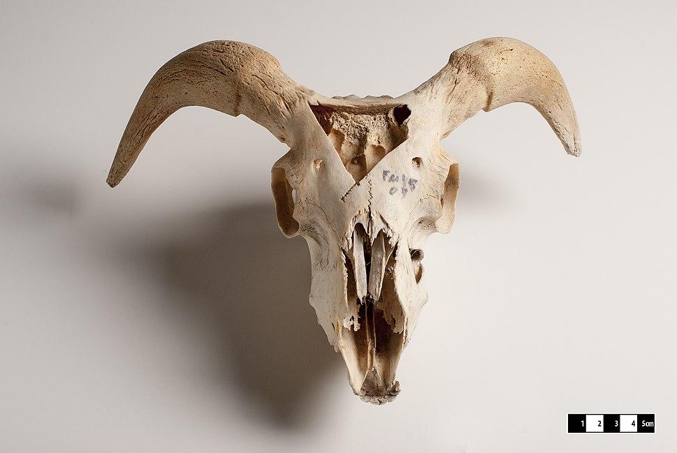 Goat skull-FMVZ USP-18.jpeg