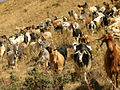 Goats Grazing in Armenia.JPG