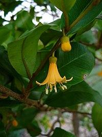 Goetzea elegans flower