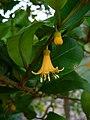 Goetzea elegans flower.jpg