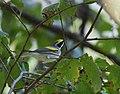Golden-winged Warbler (36641470313).jpg