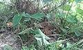 Golden monitor lizard.jpg