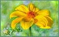Goldilocks Rocks Wildflowers (146003859).jpeg