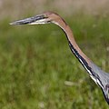 Goliath Heron, Ardea goliath at Marievale Nature Reserve, Gauteng, South Africa (44774366694).jpg