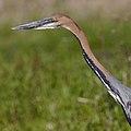 Goliath Heron, Ardea goliath at Marievale Nature Reserve, Gauteng, South Africa (44774366694).jpg