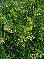 Gomphocarpus fruticosus 001.JPG
