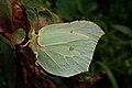 Gonepteryx rhamni (36872132085).jpg