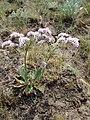Goniolimon speciosum 104443613.jpg