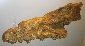 Goronyosaurus - Holotype skull as preserved