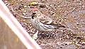 Gråsiska Common Redpoll (14505396116).jpg