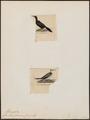 Graculus africanus - 1700-1880 - Print - Iconographia Zoologica - Special Collections University of Amsterdam - UBA01 IZ18000139.tif
