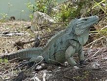 Blue Iguana Grand Cayman
