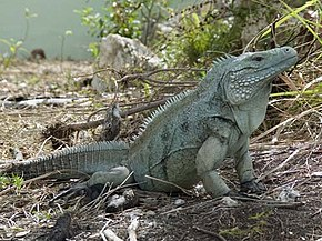 Description de l'image Grand Cayman Blue Iguana.jpg.