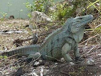 Cyclura - Grand Cayman blue iguana, Cyclura lewisi