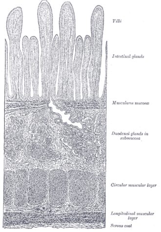 Brunner's glands - Section of duodenum.  (Duodenal glands in submucosa are labeled at right, fourth from the top.)