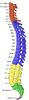 Gray 111 - Vertebral column-coloured.png