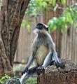 Gray Langur or Hanuman langur.jpg